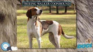Treeing Walker Coonhound  Everything Dog Breeds