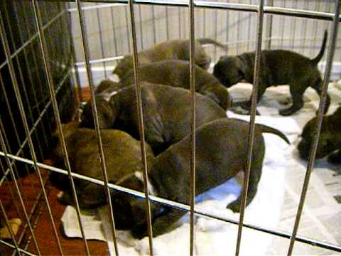 Bluenose pittbulls for sale in vancouver