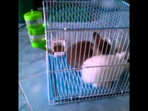 กระต่ายแคระดชแบมแบมกะน้องชงนม