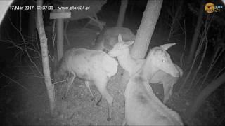 Łanie i jeleń szlachetny w karmisku w lesie na Podkarpaciu