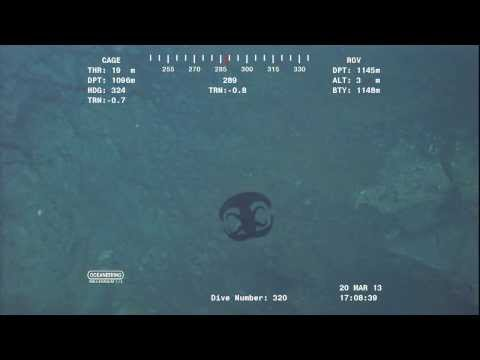 Alien looking creature transforming near Ocean floor at over 3700 feet.Video from ROV