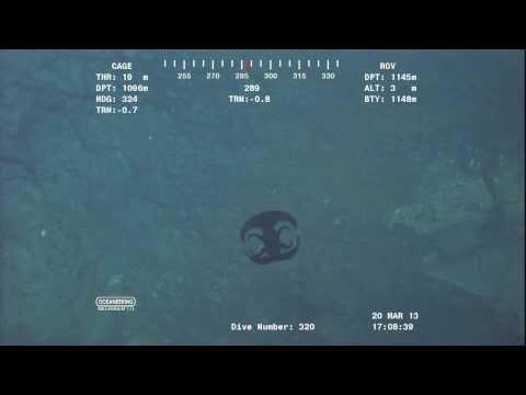 Alien Looking Creature Transforming Near Ocean Floor At Over 3700 Feet.Video From ROV