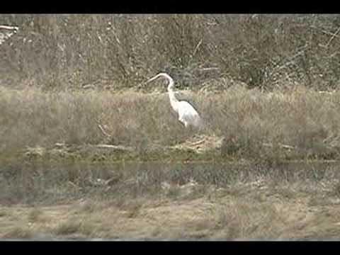 Cape Cod Great White Egret Shore Bird