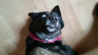 Собака улыбака! Funny dog!