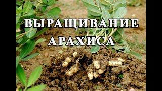 Выращивание арахиса в открытом грунте