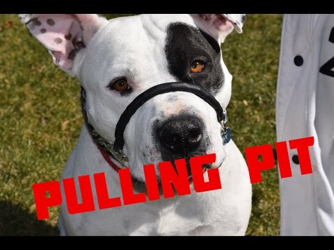 Pit Bull Drags Woman - SafeCalm Dog Training Collars Dog Whisperer BIG CHUCK MCBRIDE
