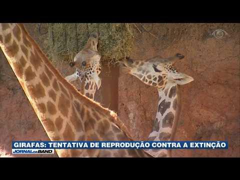 Zoológico do interior de SP recebe girafas da Áustria