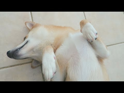 FUNNY Sleeping Shiba Doge