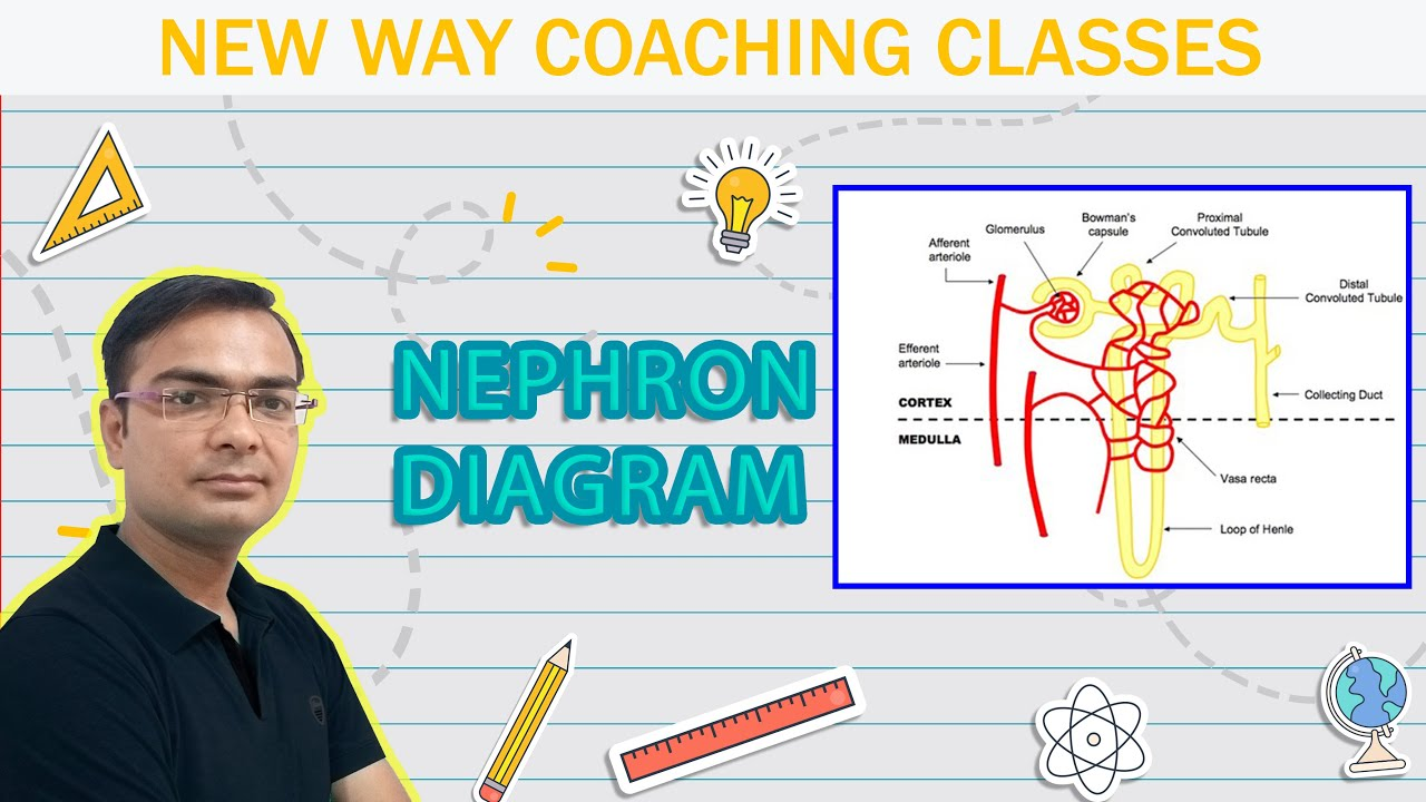 how to draw diagram of nephron class 10 science https youtu be 0nwnzaavwky [ 1280 x 720 Pixel ]