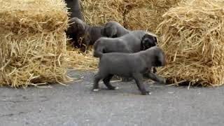 Cane Corso Puppies For Sale Brent Martin