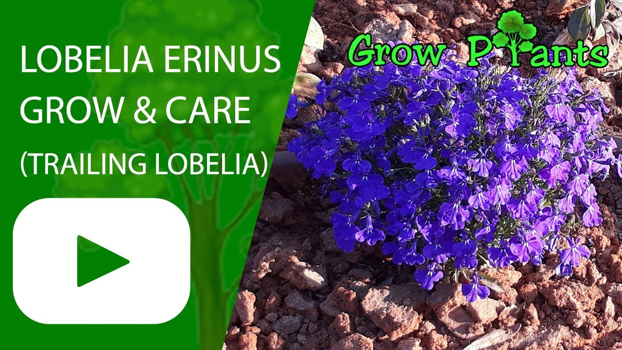 Lobelia Erinus Grow And Care Trailing Lobelia Flowers Youtube