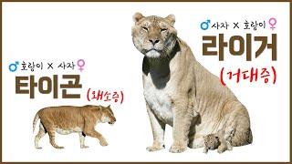 하이브리드(이종교배) 동물들의 불편한 진실 3가지 - 라이거는 거대증, 타이곤은 왜소증?!
