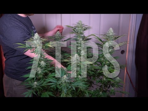 7 IMPORTANT TIPS For GROWING BIG BUDS AND INCREASING YIELDS