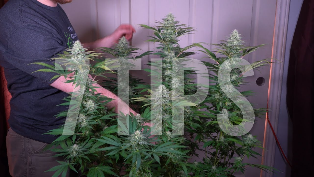 Download 7 IMPORTANT TIPS for GROWING BIG BUDS AND INCREASING YIELDS