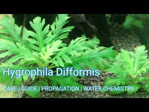 Hygrophila Difformis | Easy to grow Plant