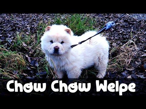 chow chow welpen kaufen