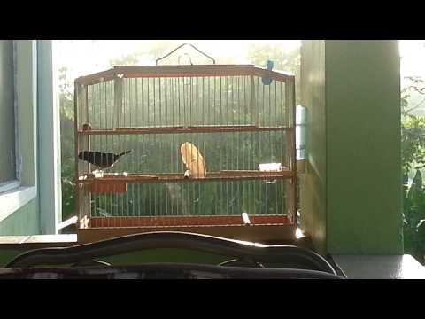 Trinidad bullfinch prince