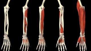 Скачать 3D Анатомия человека мышц предплечья и кисть 3D Anatomy Human Muscles Forearm And Hand