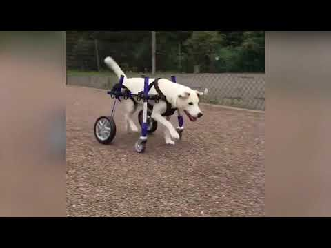 Rufus Playing Fetch in His Dog Wheelchair!