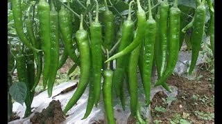 How to Grow green chili  at home kitchen gardening usa