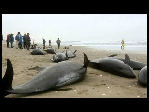 Ominous Sign of Another Big Earthquake Coming, 150 Dead Dolphins In Japan