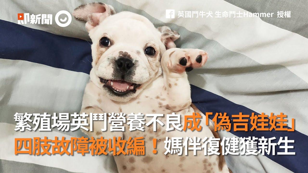 繁殖場英國鬥牛犬營養不良像吉娃娃 四肢故障被暖媽收編 寵物 狗 領養 - YouTube