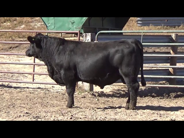 Connealy Angus Lot 93