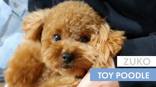 CUTE TOY POODLE | Zuko the Toy Poodle  October 2020