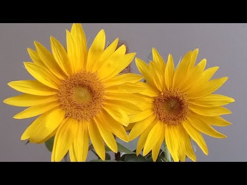Growing sunflowers - from seed to bloom