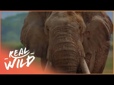 Elephants On The Run [Wildlife Documentary] | Wild Things