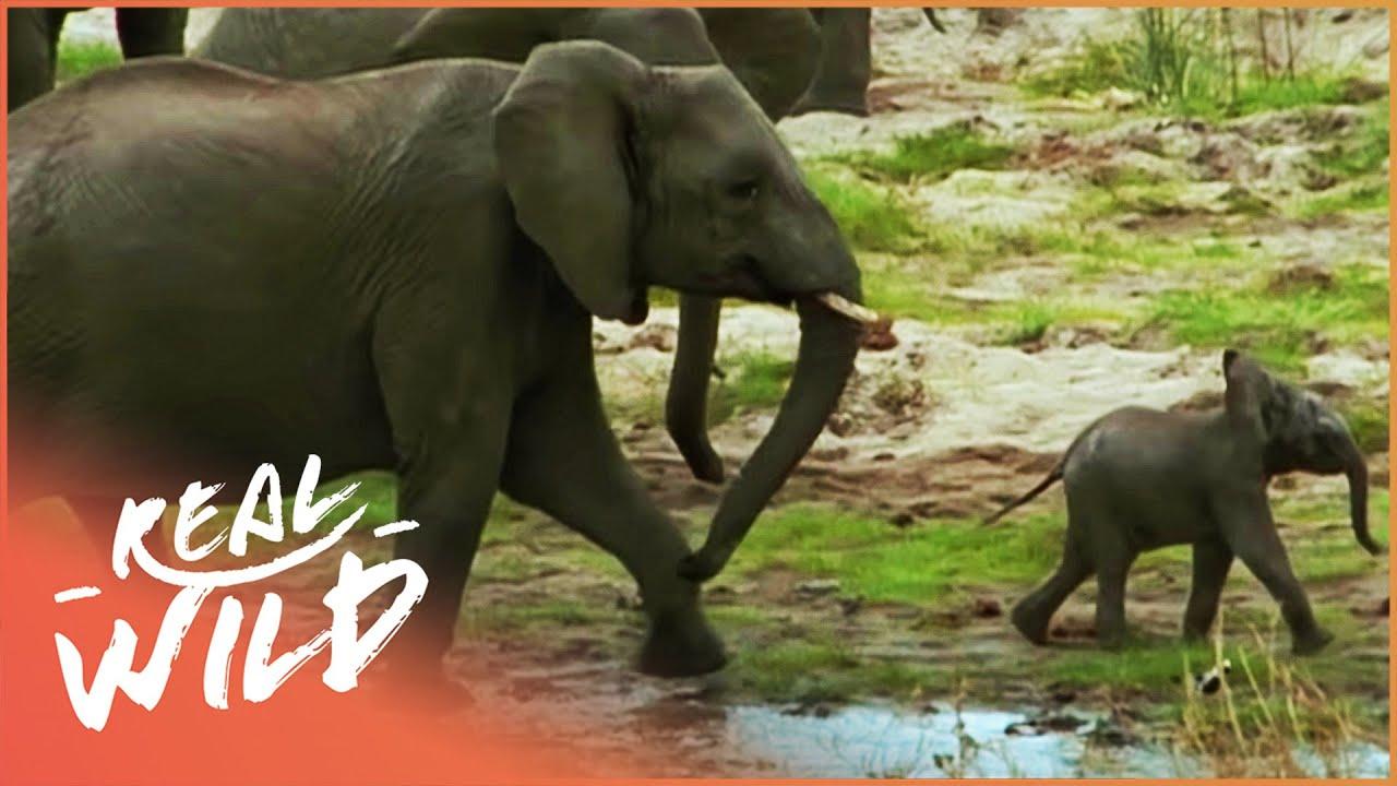 Elephants On The Run [Wildlife Documentary]   Real Wild