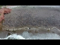 '1mn penguins' descend on Argentina in spectacular scene