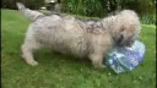 Cute Puppy Funny Puppies Dandie Dinmont Terrier