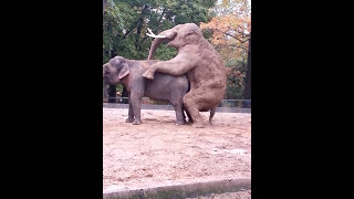 Paarung Elefanten Berliner Zoo