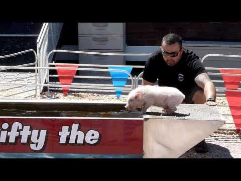 Swifty The Swimming Pig at the Clark County Nevada Fair 2011