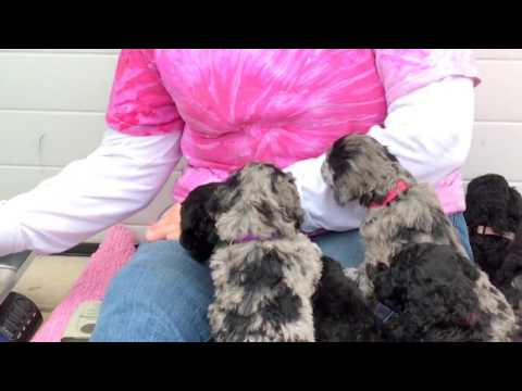 Glory's standard poodle puppies for sale  2-22-17