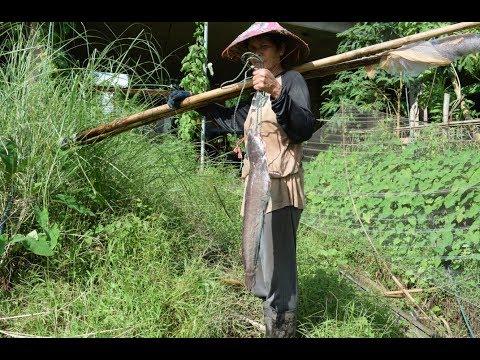 net fishing , catching fish in mekong river , savannakhet laos