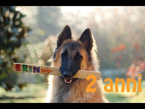 Erin - Belgian Shepherd Tervueren - 2 years ♡
