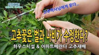 고추꽃 수정작업 벌과 나비가 필요한가? 하우스시설 베란…