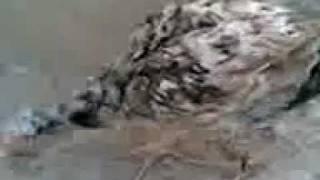 haider aseel chicken