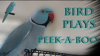 Bird Plays Peek-A-Boo!  Funny talking Indian Ringneck