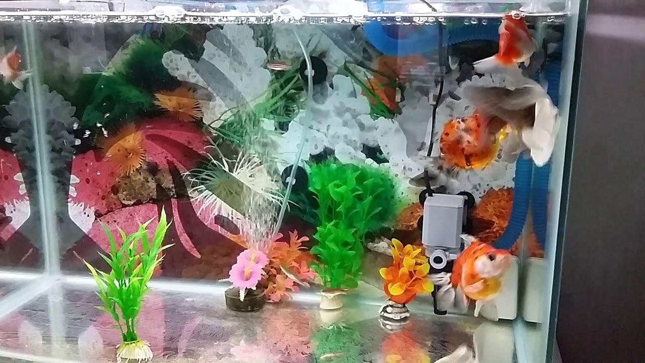 Ikan Mas Koki Kawin