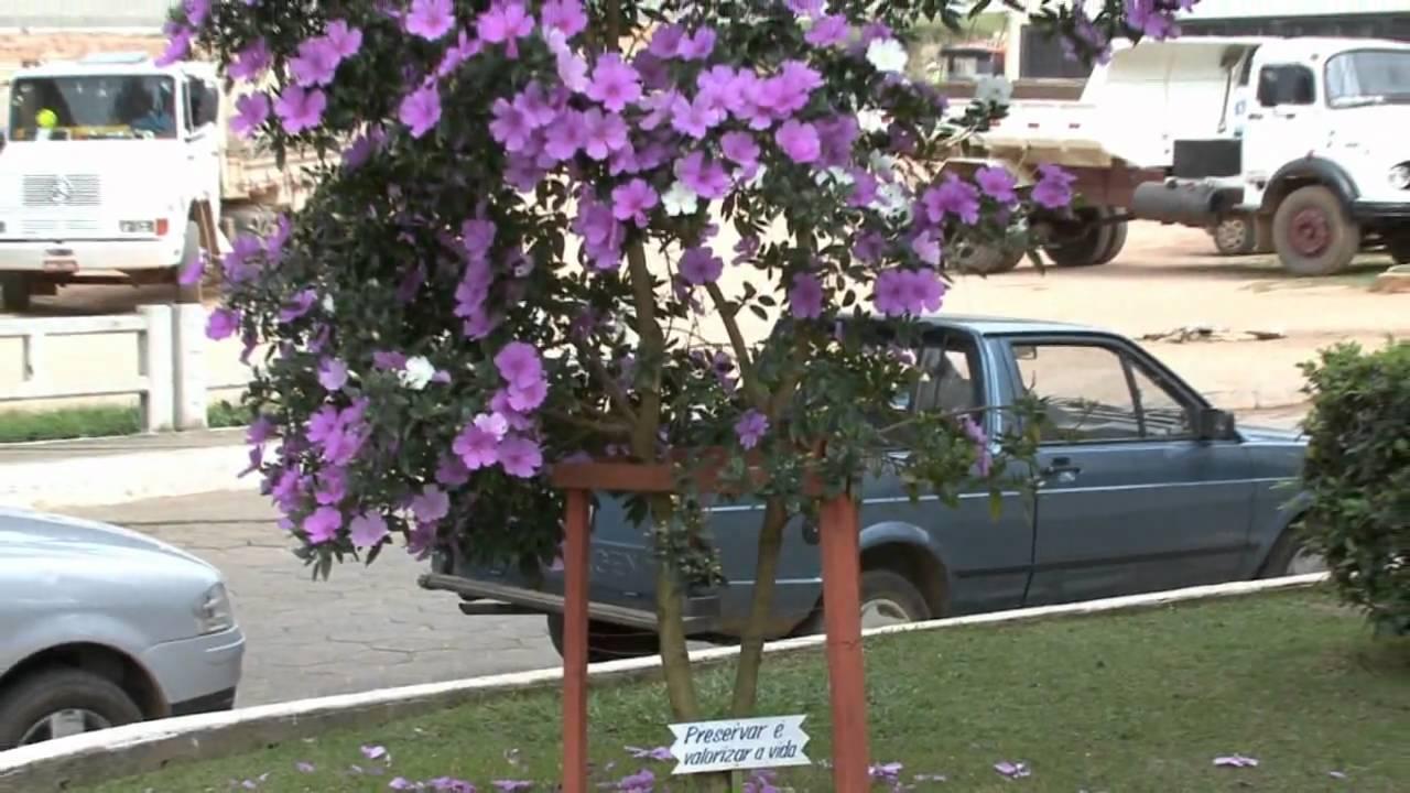 manaca de jardim em vaso:MANACÁ DA SERRA ANÃO – YouTube