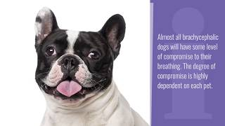 Breathing Problems in French Bulldogs | PetPlace.com