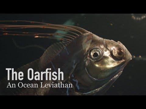 The Oarfish, A True Ocean Leviathan