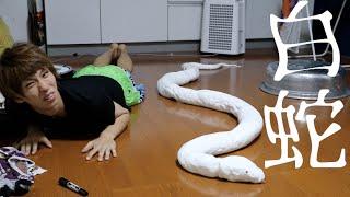 全長2mの巨大白ヘビが部屋にいるドッキリ thumbnail