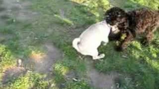 Delilah The Pug Vs Poodle
