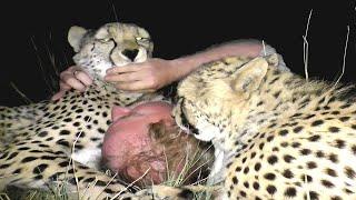 Baby African Cheetah Cubs Hiss Spit Slap Stomp Growl then LOVE Surrogate Mother - A Volunteer