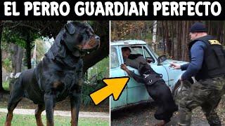 Top 8 Cosas Que No Sabias De Los Perros Rottweiler | SoyCorraje