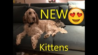 English Setters Meet The New Kittens